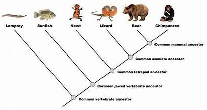 Cladogram Biology Simple Example Bears Related Phylogeny