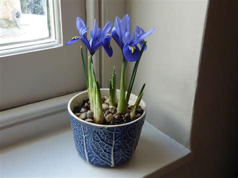 iris reticulata the enduring gardener