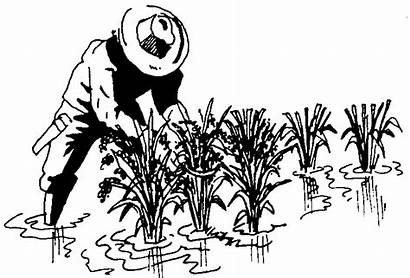 Rice Clipart Paddy Harvest Drawing Farming Plant