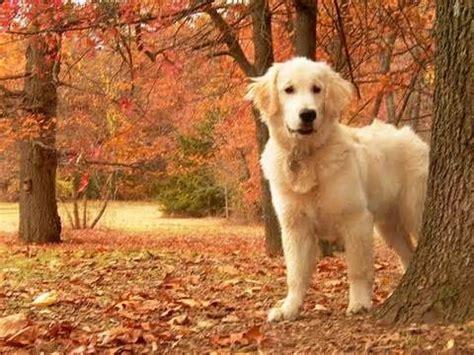 Golden Retriever Puppy Fall