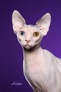 sphynx cat for sphynx pictures pics images and photos for inspiration