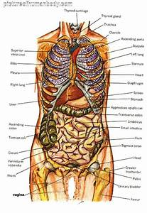 Diagram Of Human Body Organs