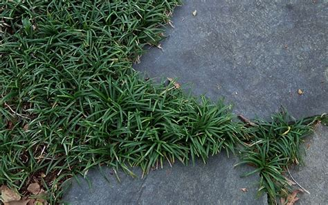 Groundcover, Perennial