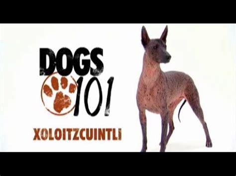 pin  neil bartlett  dogs hairless dog mexican