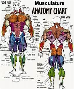 Male Musculature Anatomy Chart