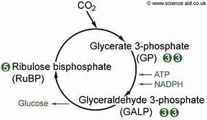 New Beauty News  Photosynthesis Diagram Chloroplast