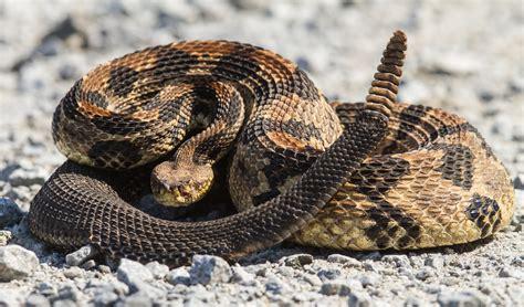 baby rattles canebrake rattlesnake roads end naturalist