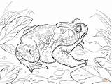 Toad Coloring Pages American Cane Printable Frog Drawing Sketch Getcoloringpages Drawings Cartoon Paper Friends Designlooter Template sketch template