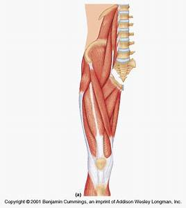 Muscles That Cross The Hip Joints