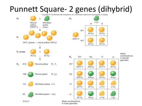 Punnett square is another free punnett square calculator for windows. PPT - Punnett square - 1 gene PowerPoint Presentation - ID:6493442