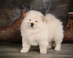 white chow chow puppies   Animals   Pinterest   White chow ...