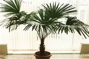Hanfpalme Braune Blätter : chinesische hanfpalme wie winterhart ist sie ~ Lizthompson.info Haus und Dekorationen