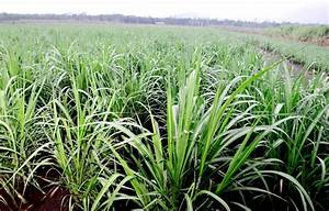 Growing New Sugarcanes  Learn About Sugarcane Propagation