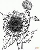Coloring Sunflower Unique Printable Adults sketch template
