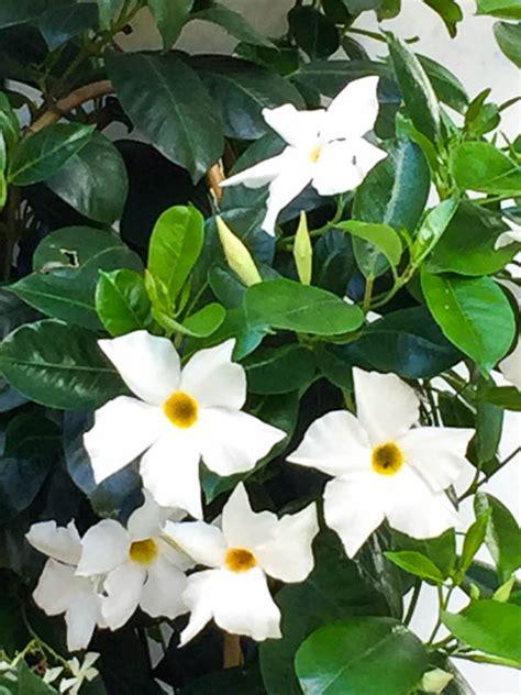 plante fleur blanche interieur fleur blanche c 244 t 233 jardin