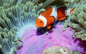 Clown Fish HD desktop wallpaper : Widescreen : High ...