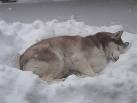 Typical Husky Sleeping In The Snow.