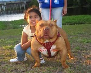Pitbull bully red nose - Imagui