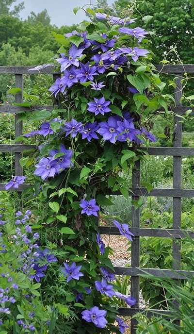Clematis Trellis by How To Grow Clematis Gardener S Supply