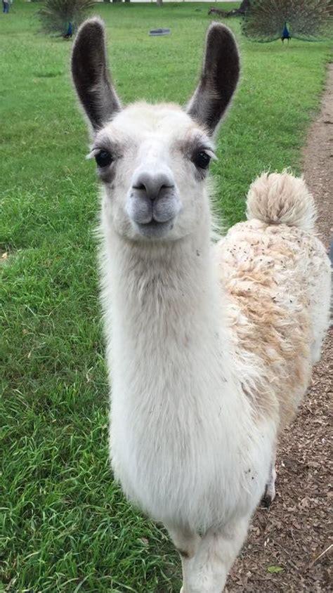 pet talk   llama fun alpacas  llamas  pets