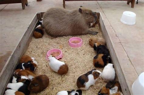 pictures  capybaras    friendly