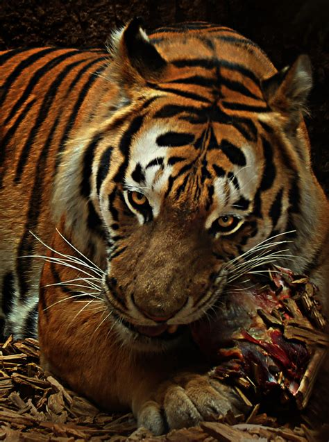 majestic tiger pictures pexels  stock