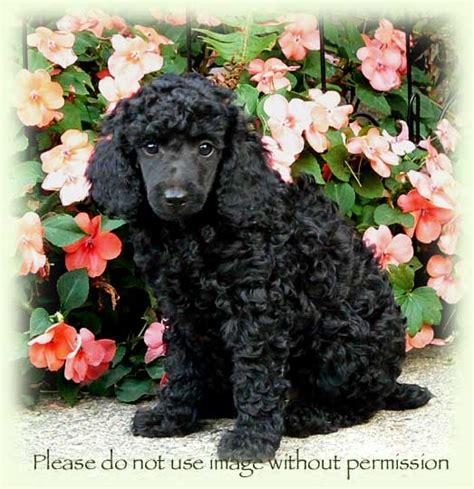ellie  lennys moyen small standard poodle litter born