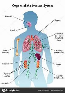 33 Diagram Of The Immune System