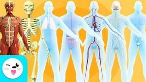 Los Sistemas Del Cuerpo Humano Para Ni U00f1os