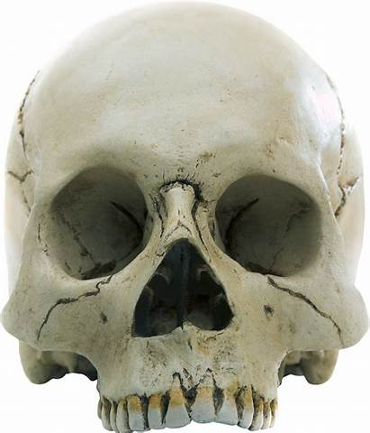 Skull Skeleton Transparent Halloween Anatomy Homo Sapiens