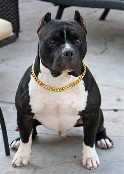 gold pinch chain elegant stylish dog collar cuban