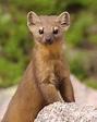 Mustelidae (Weasels) : Photo Albums : SummitPost