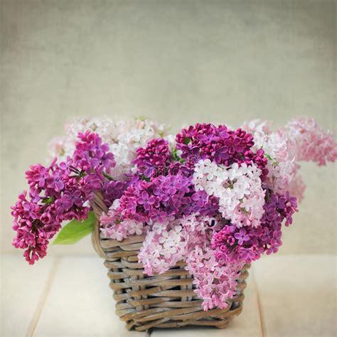 lilac flowers stock photo image  heads mauve