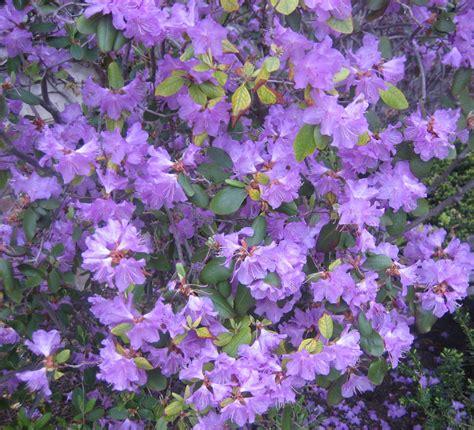 purple flower vine plants purple plants www imgkid com the image kid has it