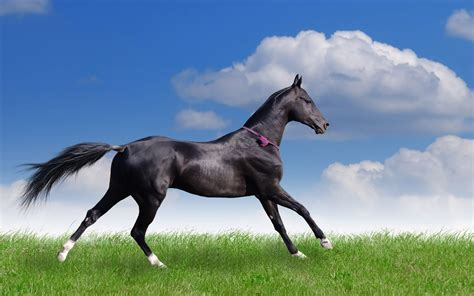 horses wild running hd wallpapers horse animals animal pretty desktop teke akhal