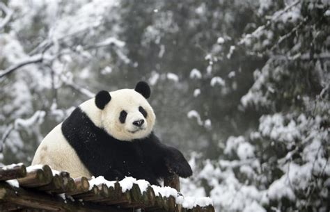Human Noise May Get In The Way Of Panda Mating