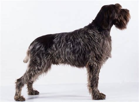 Wirehaired Pointing Griffon Shedding by Wirehaired Pointing Griffon Breed Information Facts