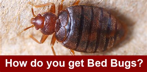 how do you get bed bugs how do exterminators get rid of bed bugs how do