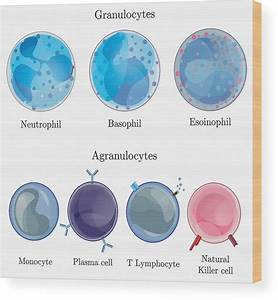 Types Of Blood Cells Diagram