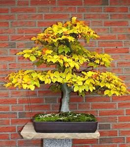 Bonsai Baum Schneiden : bonsaiarbeitskreis hildesheim ~ Frokenaadalensverden.com Haus und Dekorationen