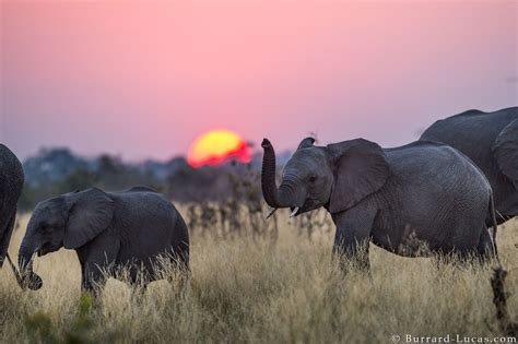 young elephant burrard lucas photography