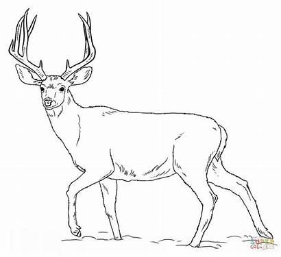 Deer Coloring Mule Buck Adult Fish Printable