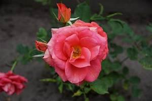 Wann Schneidet Man Rosen : rosen schneiden im fr hjahr und herbst ~ Eleganceandgraceweddings.com Haus und Dekorationen