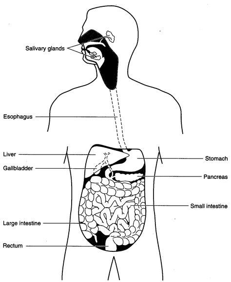Simple Diagram Of Organ by Human Science Digestive System Worksheet Science