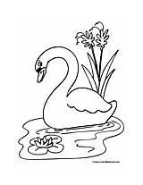 Swan Coloring Whooper Animals Printable Designlooter sketch template