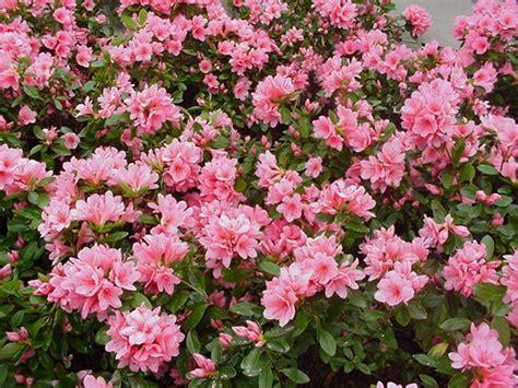 arbusti da fiore sempreverdi arbusti da fiore e sempreverdi