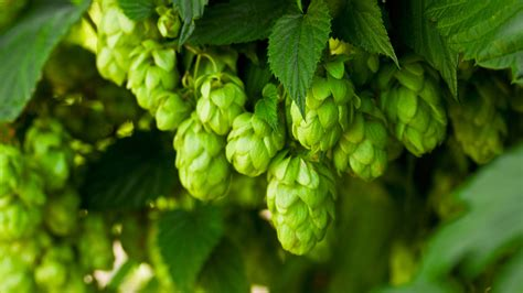 hopfen bing wallpaper