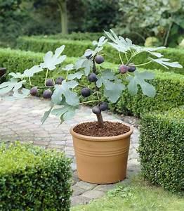 Feigenbaum Im Garten : feigenbaum berwintern im topf und im garten mein sch ner garten ~ Orissabook.com Haus und Dekorationen