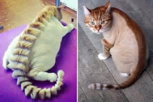 cat haircuts obsev