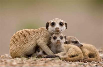Getty Meerkats Animals Souders Paul Meerkat Animal